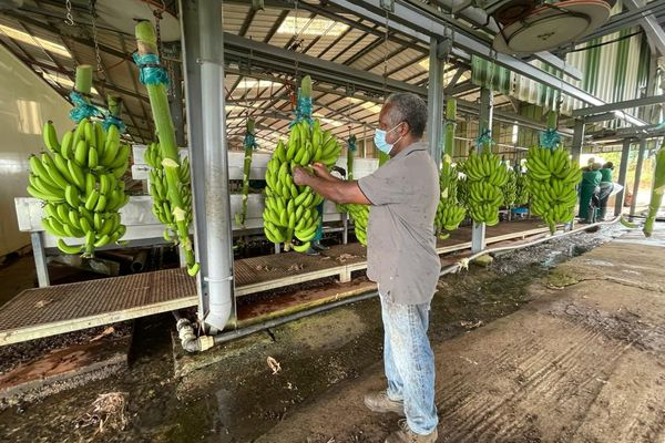 plantation de Tino Damba