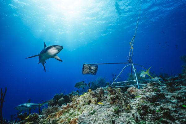 Requins IRD Bahamas