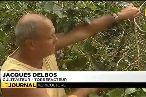 La culture du café perdure aux Australes grâce à Jacques Delbos