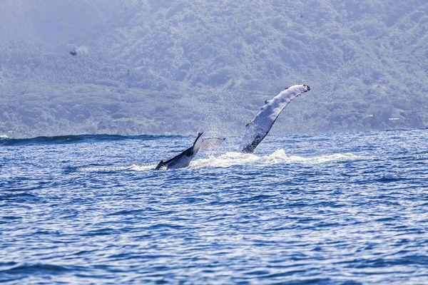 Baleine Vairao 4