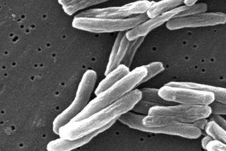 Le bacille de la tuberculose