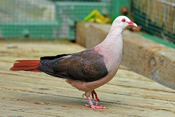 Pigeon rose de l'île Maurice
