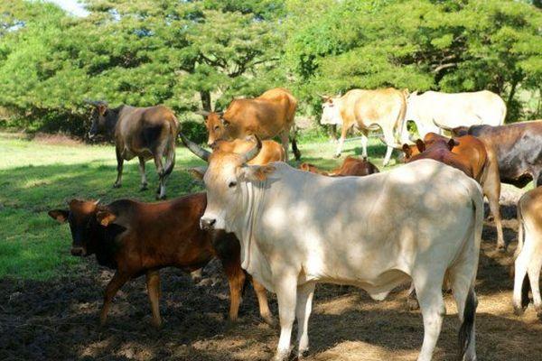 élevage bovin
