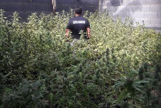 Îles du Vent : saisie de 4 296 plants de cannabis