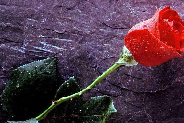 Rose de fête des mères