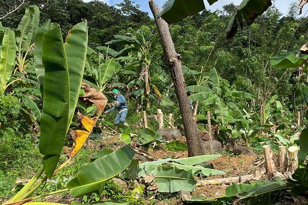 Des hectares de plantations de bananes à détruire sur le mont Mahury