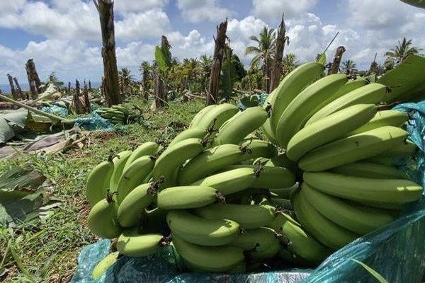 parcelle saccagée régime bananes à terre