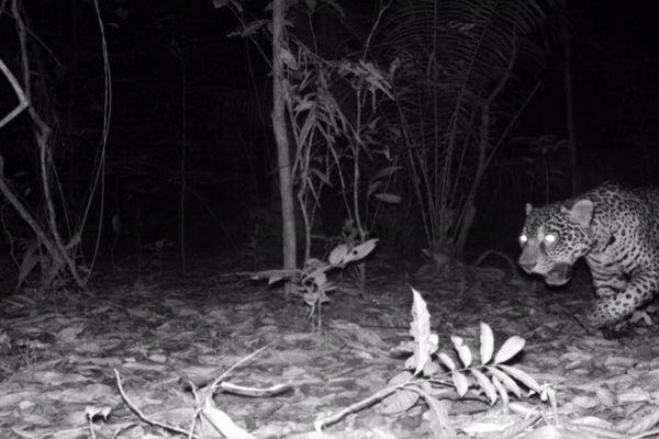 Des jaguars de plus en plus présents sur le territoire de Matoury