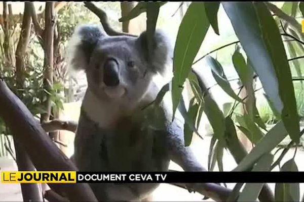 Une équipe française au secours des koalas