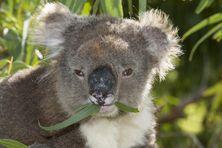 Au total, 686 koalas mourant de faim ont été euthanasiés dans la région de Cape Otway, dans le sud-est de l'Australie, en 2013 et 2014. (ROLAND SEITRE / MINDEN PICTURES / AFP)