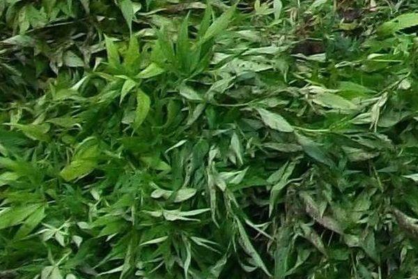 Le Canada pourrait être le 2e Etat à légaliser la vente de cannabis à des fins récréatives