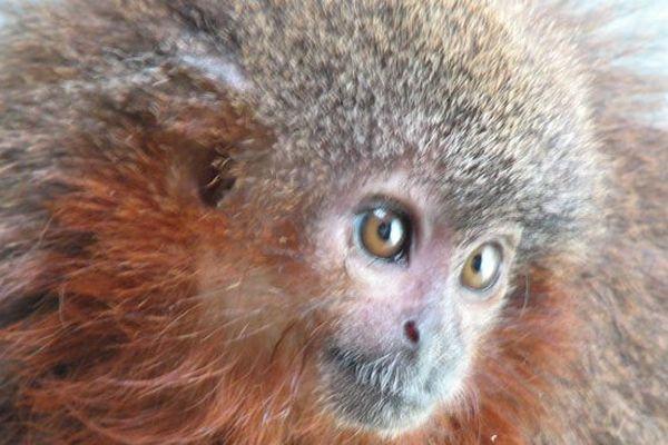 Caqueta titi monkey, un singe qui ronronne comme un chat découvert dans la forêt amazonienne