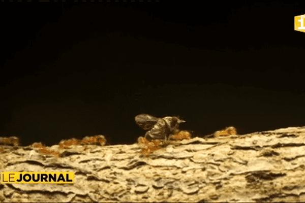 En Nouvelle-Calédonie, les agriculteurs luttent contre les espèces invasives.