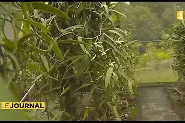 Faible production et coût de revient élevé plombent la vanille tahitienne