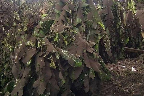 Des bananiers écrasés sous le poids de la cendre volcanique