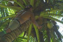 L'entreprise de Heimata Faniu exporte 4800 cocos par semaine à Papeete.