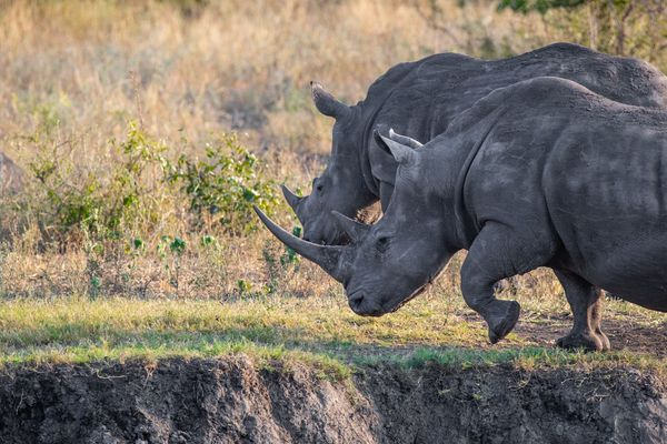Rhinocéros parc Kruger Afrique du Sud