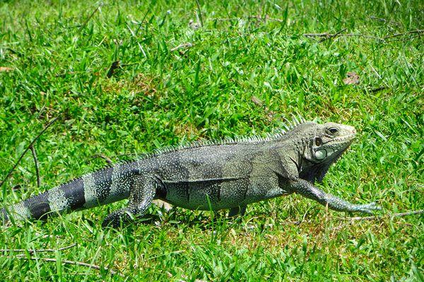 Chasse à l'iguane