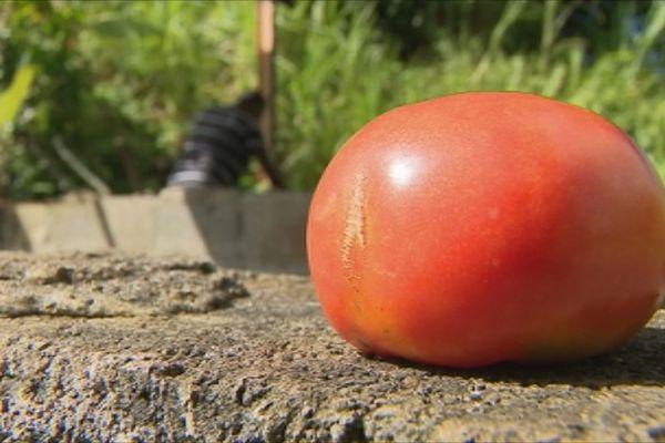 tomate organique
