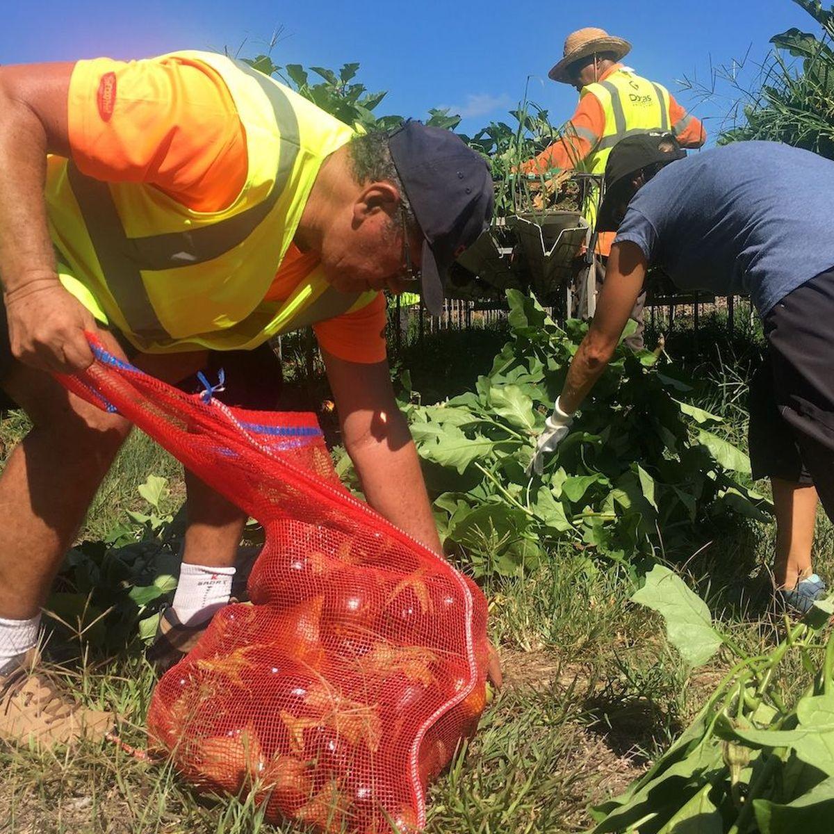 Encore 1,5 tonne d'aubergines glanées pour les plus démunis