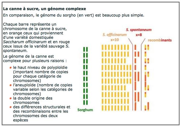 genome canne à sucre