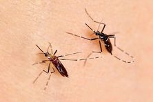 Le moustique de gauche (clair) est une femelle de la sous-espèce invasive Aedes aegypti aegypti. Le moustique de droite (foncé) est une femelle de la sous-espèce Africaine Aedes aegypti formosus.