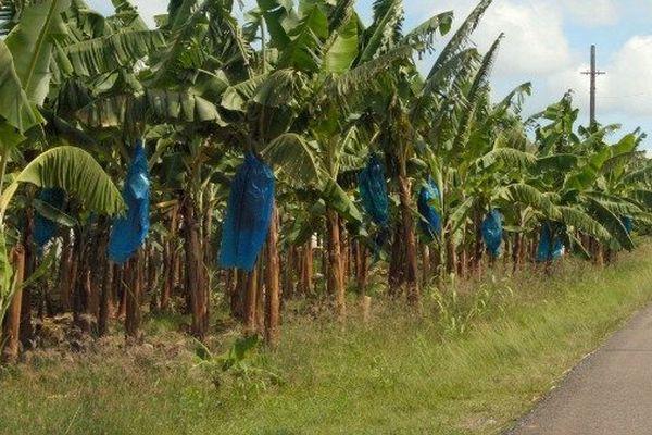 Bananeraies aux Antilles