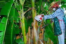 Ouvrière agricole dans une bananeraie