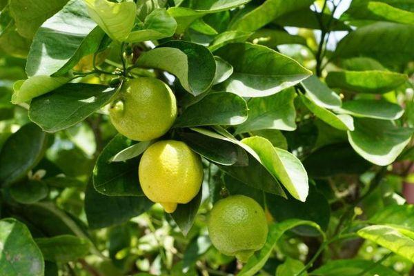 citrons citronniers