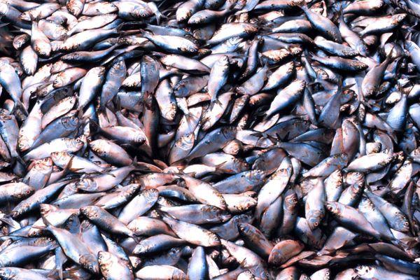 Menhaden de l'Atlantique dans une soute de bateau de pêche industrielle. Ce poisson est massivement pêché et transformé en farine animale.