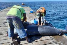 Un marlin de 350 kilos capturé au large du Prêcheur.