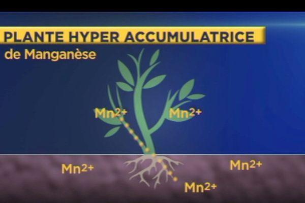 plante hyperaccumulatrice