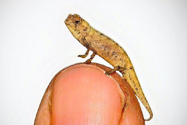 Brookesia nana, plus petit reptile de la planète découvert en janvier 2021 à Madagascar
