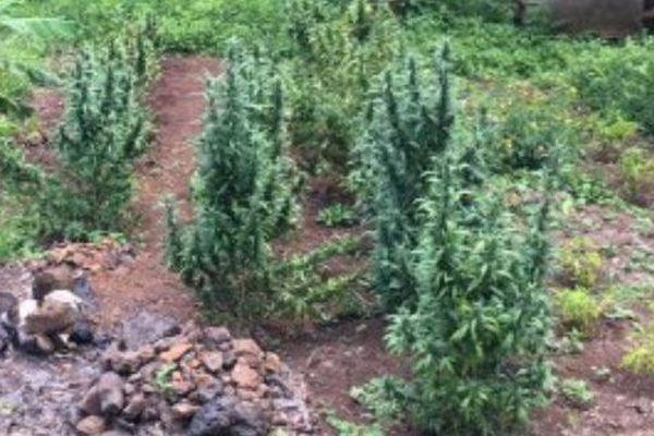 Plus de 750 plants de cannabis saisis dans trois plantations