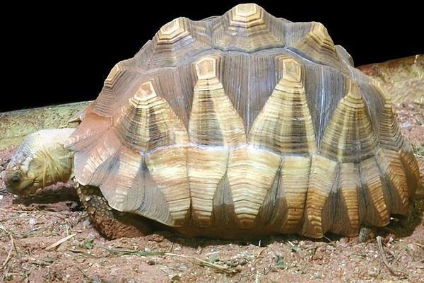 angonoka tortue