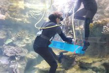 La période d'amarinage des coraux à débuté, à l'aquarium des lagons.