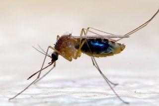 Moustique-Dengue