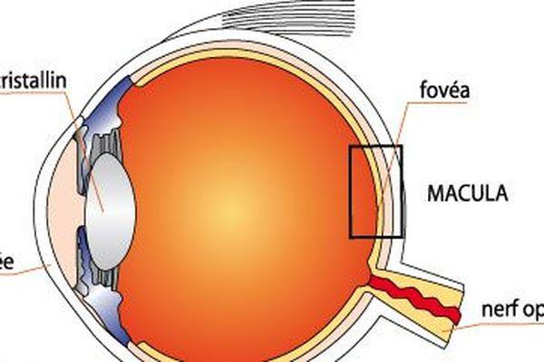 schéma de l'oeil