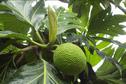 89 variétés de uru existent en Polynésie Française
