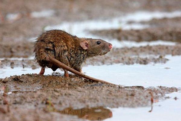 Rat à Madagascar