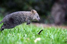 Un qokka, dans un zoo de Sidney, le 14 février 2013. (JEREMY PIPER / NEWSPIX / /REX / SIPA)