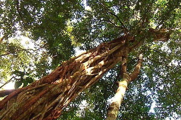avenir incertain Koghis arbre