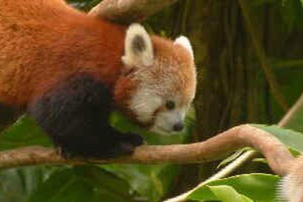 Panda roux au zoo des Mamelles