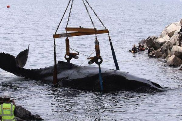 La baleine en cours de sauvetage IP