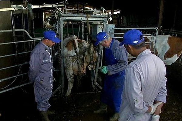Entretien sabots des vaches