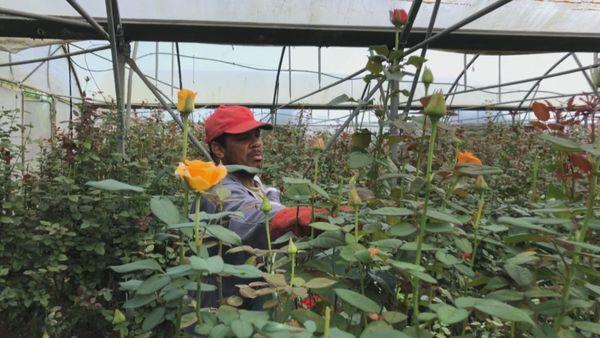 Horticulteur avec des roses