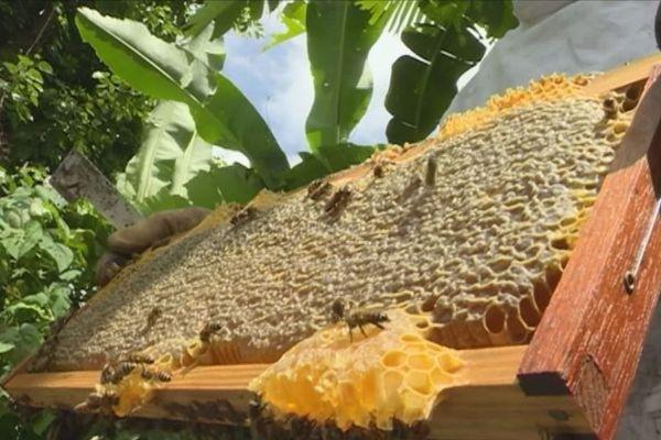 miel dans les bananeraies