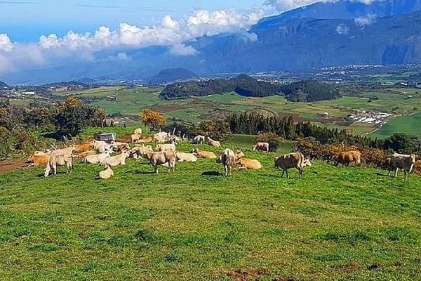 Vaches de la Plaine-des-Cafres