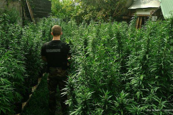 2006 plants de cannabis découverts à Taravao