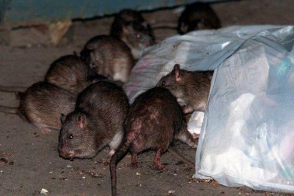 La course contre les rats